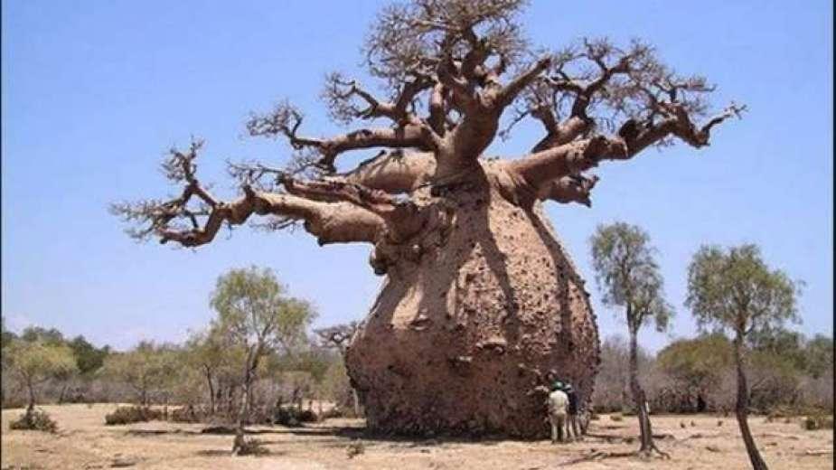 شجرة البواباب