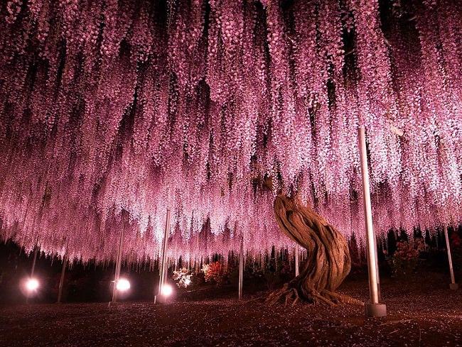 شجرة الوستارية في اليابان