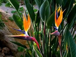 زهرة طائر الجنة
