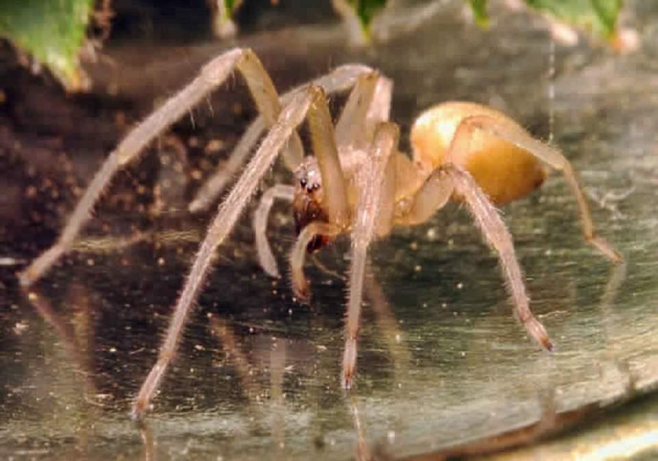 العنكبوت الأصفر الكيسي