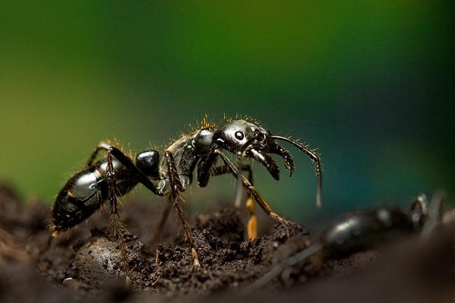 نمل العصور الوسطى