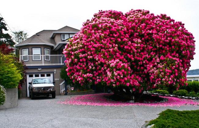 شجرة الورد في كندا