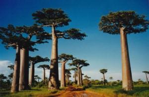 شجرة باوباب