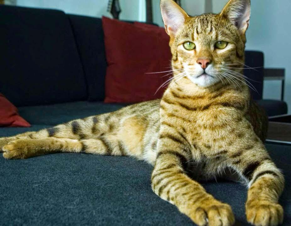 قط أليركا هايبو اليرجينيك - 6،000 دولار