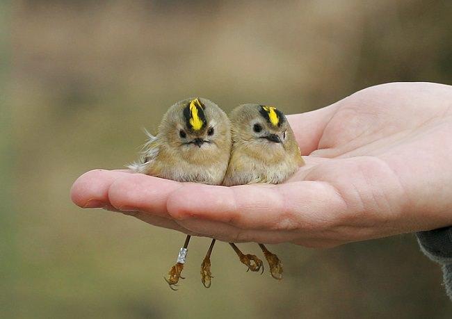 طائر الصعو أصفر العرف The Goldcrest