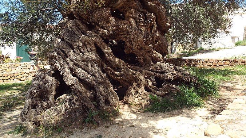 شجرة الزيتون في اليونان - عمرها 3،000 عام