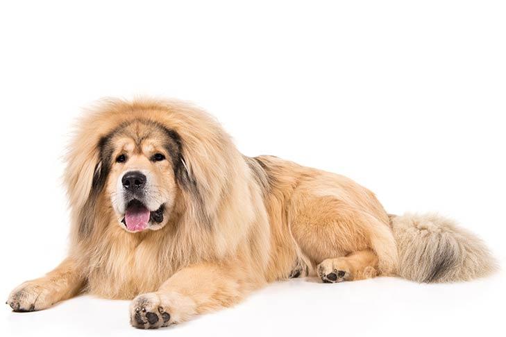 درواس التبت – Tibetan Mastiff