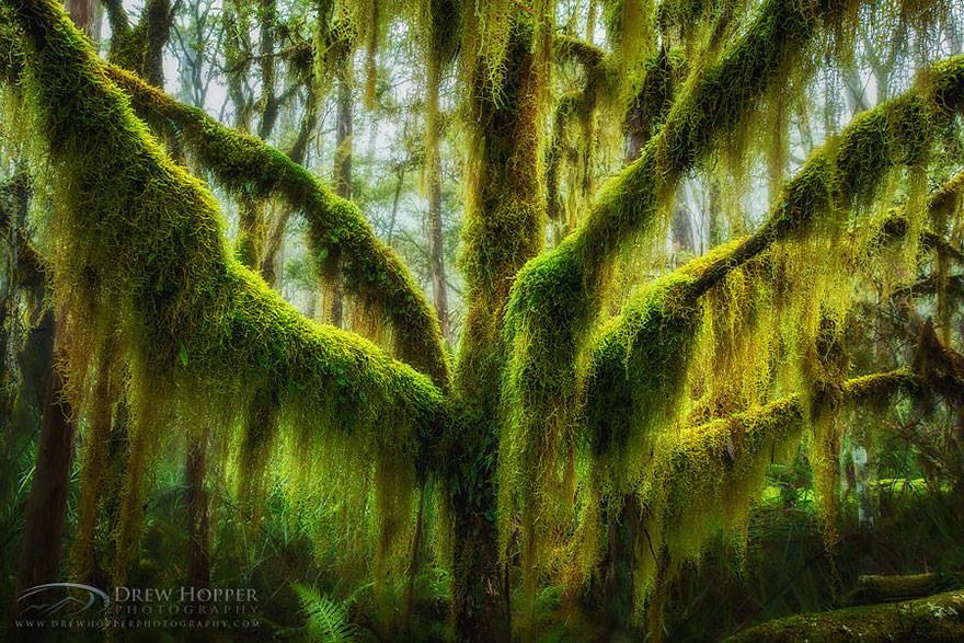 شجر الزان المغطى بالطحالب في أوريجون