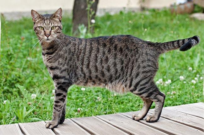 قط الماو المصري - اسرع انواع القطط
