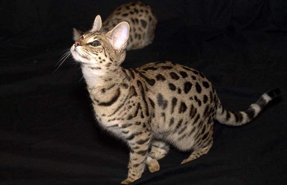 قط آشيرا، اغلى قطط العالم - 15،000 إلى 100،000 دولار
