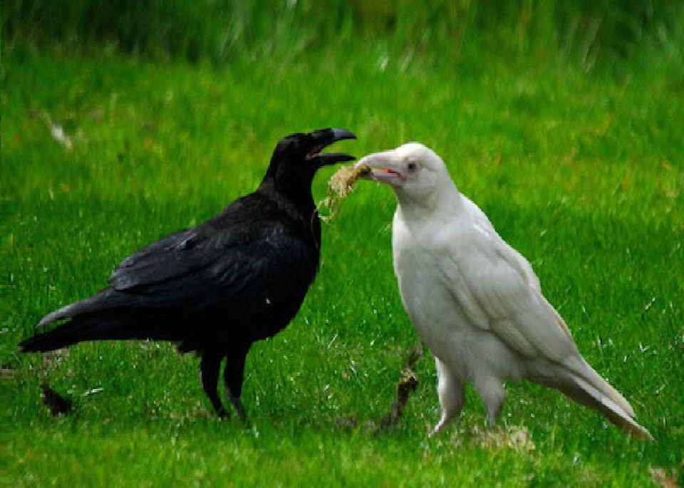 الغربان أكلة للحوم