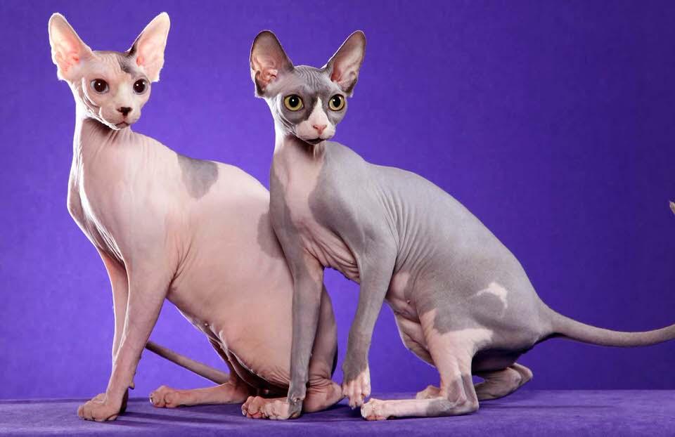 القط الفرعوني - 300 إلى 3،000 دولار