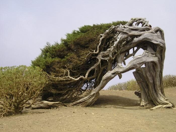 شجرة أربول دي لا سابينا