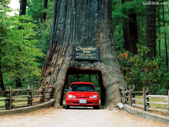 شجرة الثريا