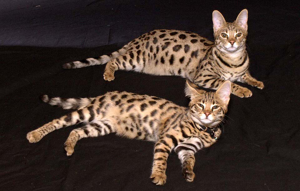 قط السافانا - 1،500 إلى 50،000 دولار