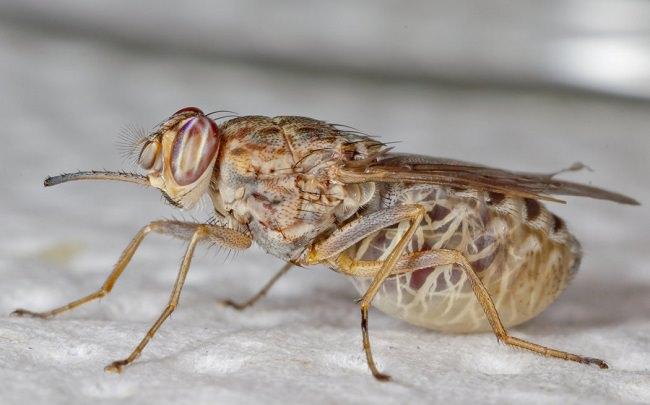 ذباب التسي تسي - 10،000 حالة وفاة سنوياً