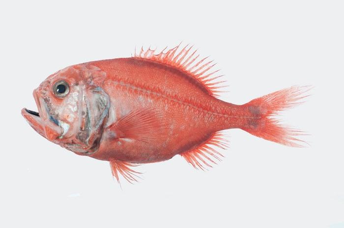 سمك الهلبوت البرتقالي - 149 سنة