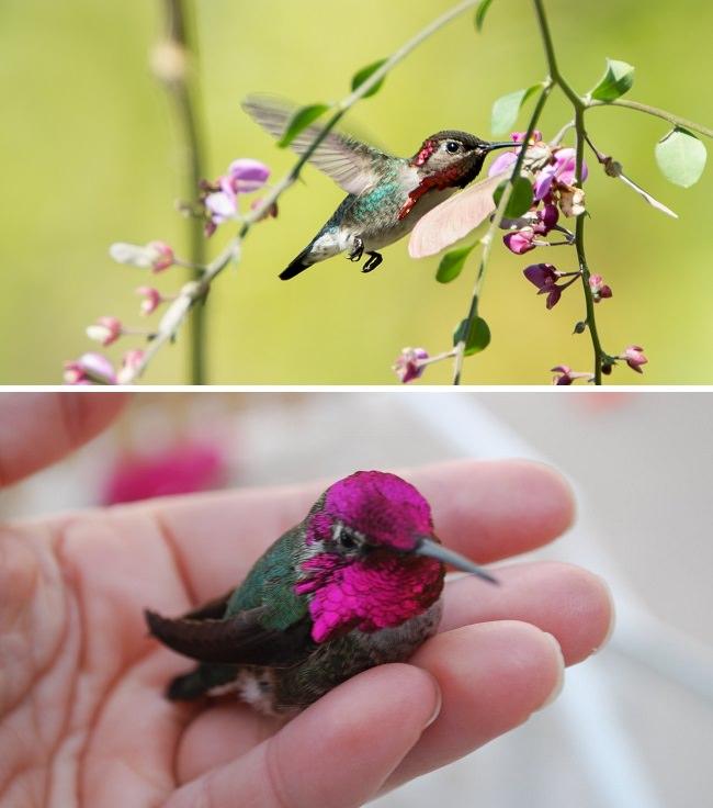طائر النحلة الطنان، اصغر طيور العالم The Bee Hummingbird
