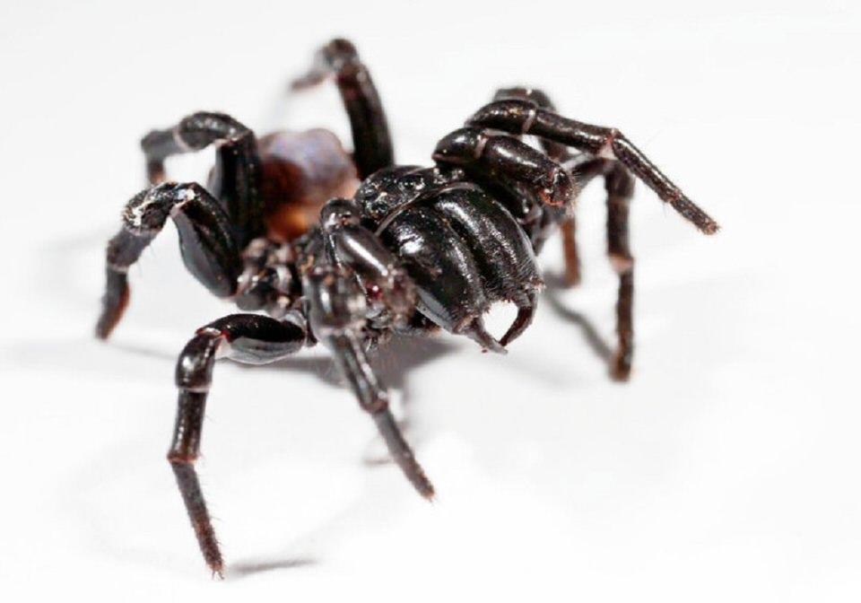 العنكبوت الإسترالي المميت