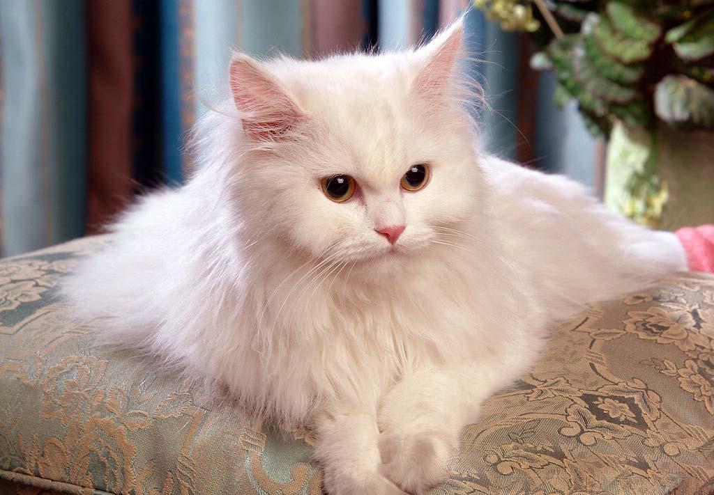 القط الفارسي أو الشيرازي - 500 إلى 5،500 دولار