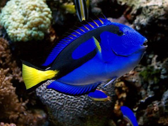فصيلة التانج (Tang fish)