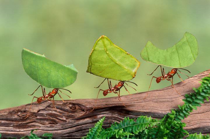 النمل الأخضر