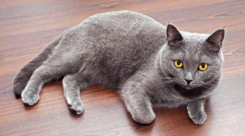 القط البريطاني قصير الشعر - 500 إلى 1،500 دولار