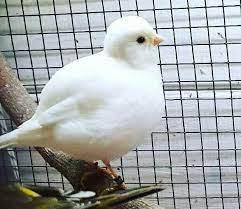الفيفي (Fife Fancy Canary)