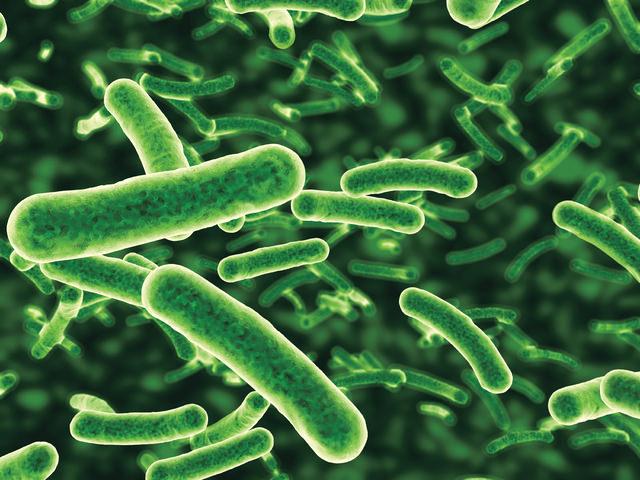 البكتيريا الملبنة المشقوقة - Lactobacillus Bifidus