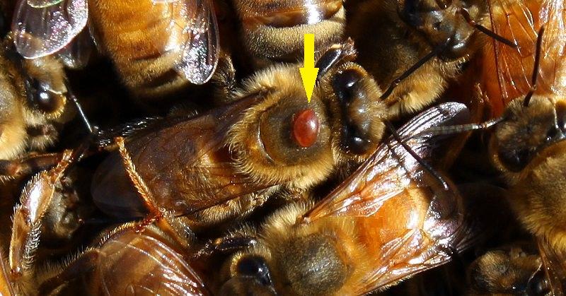 عث الفاروا (Varroa mites)
