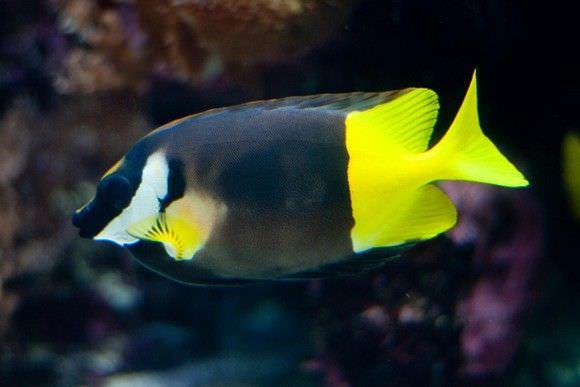 فصيلة سمكة الأرنب (Rabbit Fish)