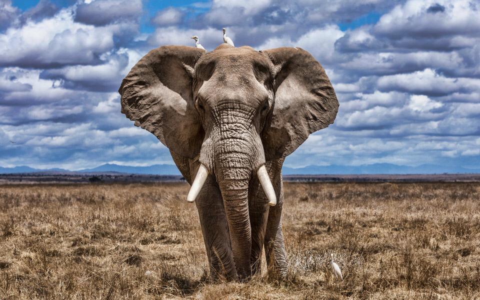 فيل الأحراش الأفريقي