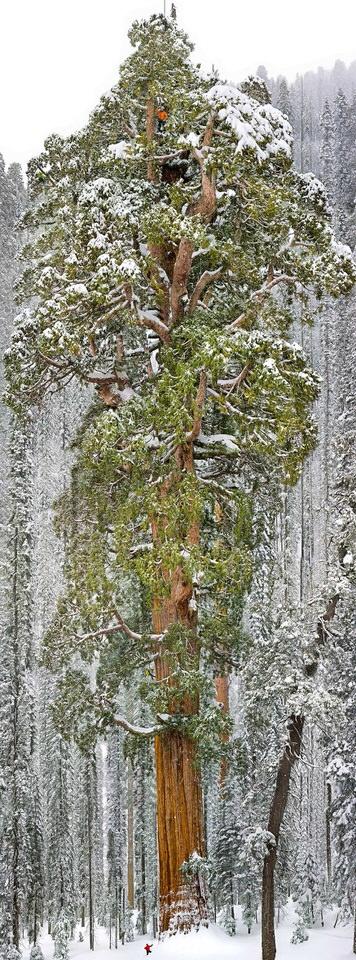 شجرة الرئيس - عمرها 3،200 عام