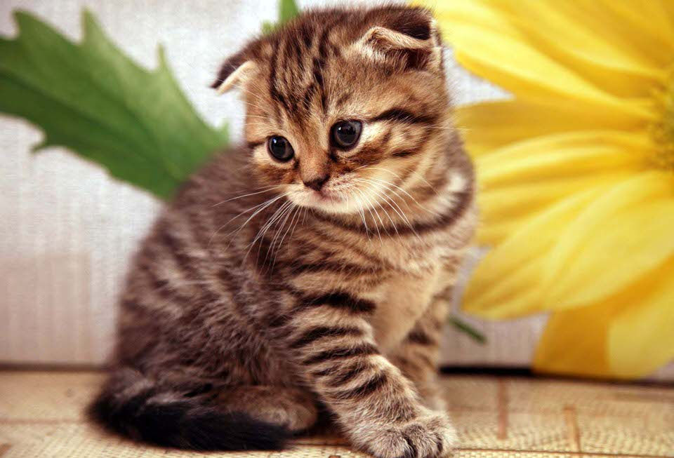 القط الاسكتلندي مطوي الأذن - 200 إلى 3،000 دولار