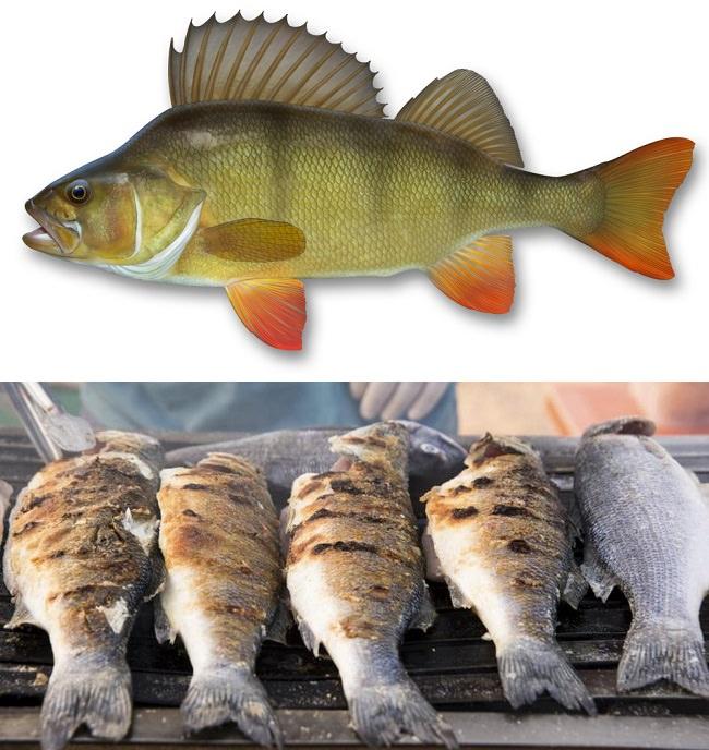 سمك الفرخ - نسبة البروتينات 18.8%