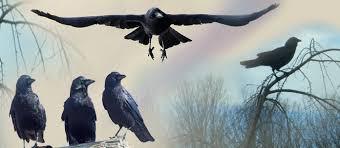 الغراب لا يخاف الطيور الجارحة