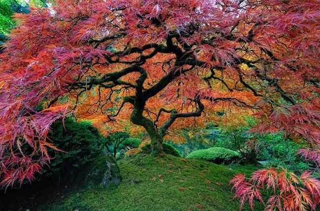 شجرة القيقب الياباني في أوريجون