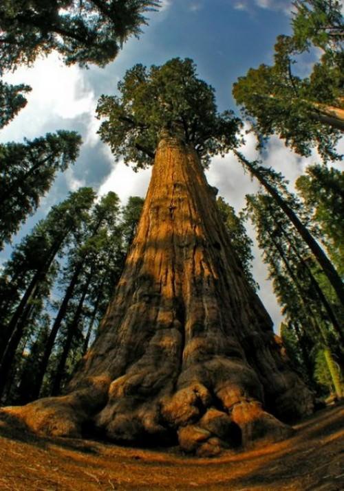 شجرة الجنرال شيرمان