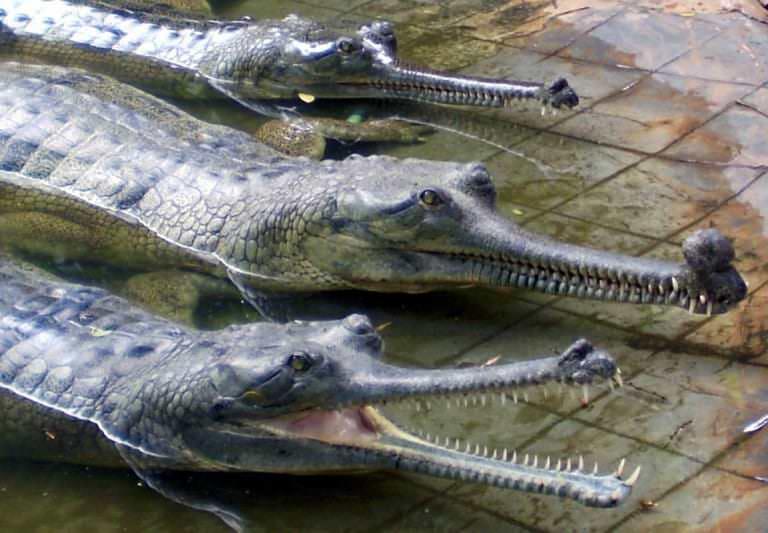 تمساح جافيال الجانح- Gavialis gangeticus