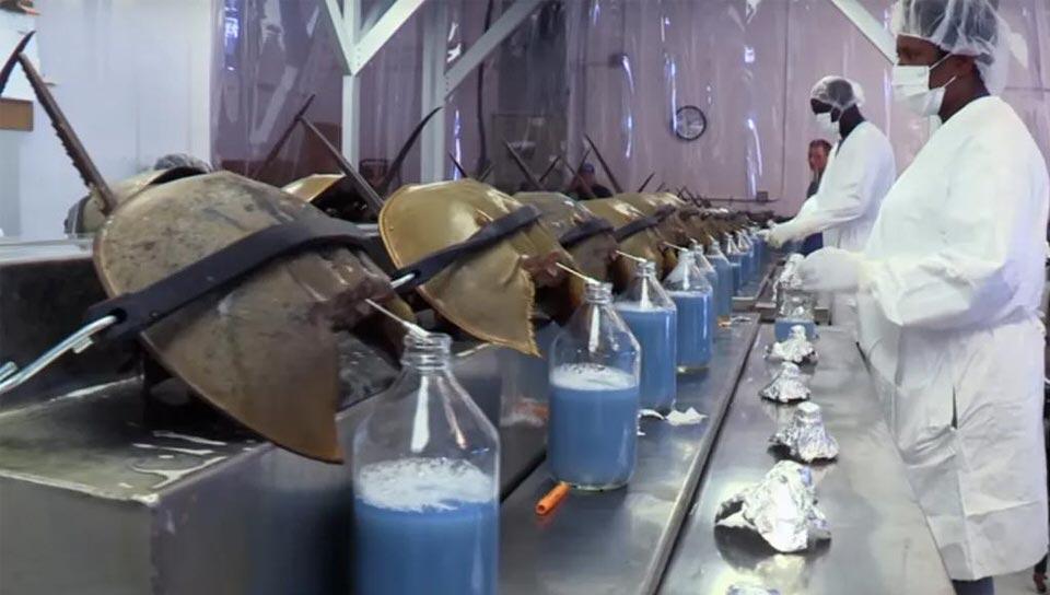 دم سرطان حدوة الحصان الأزرق: 59 ألف دولار أمريكي للجالون الواحد