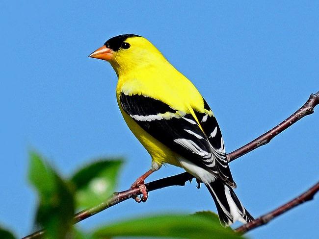 طائر الحسون الأمريكي American Goldfinch
