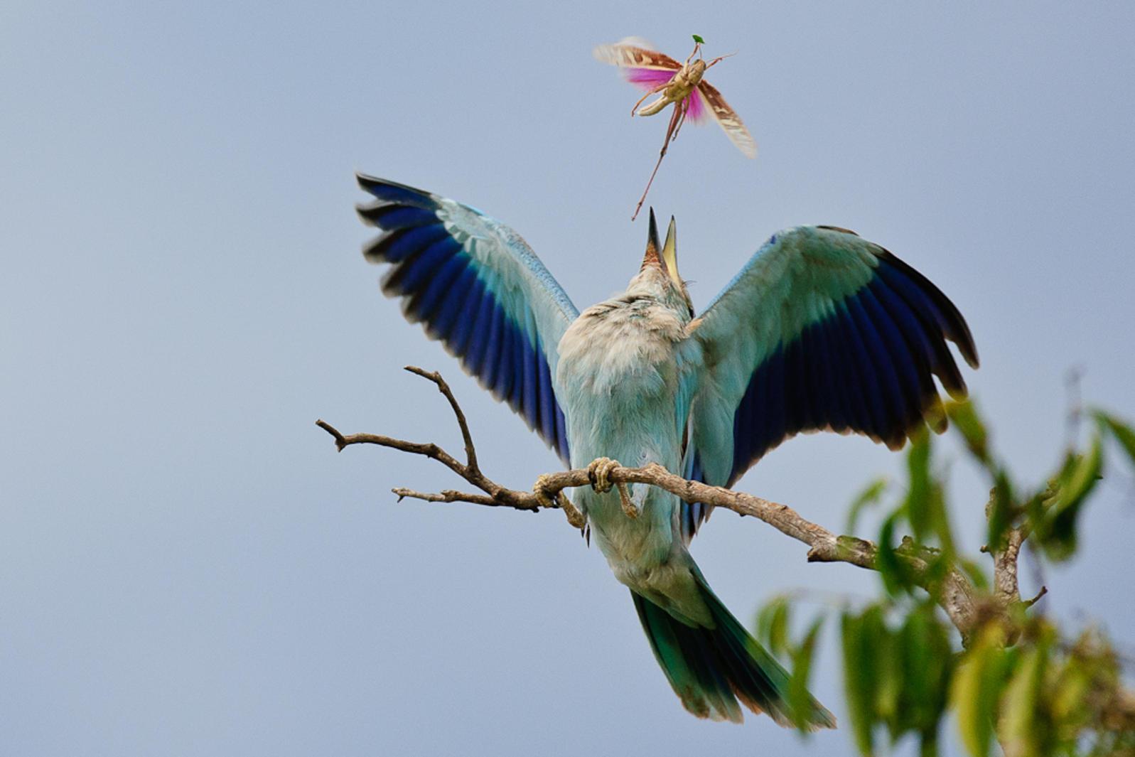 """الطيور الأسطوانية الشابة الآسيوية """" Eurasian Roller Bird"""""""