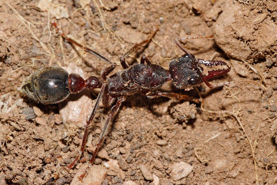 نمل الثور