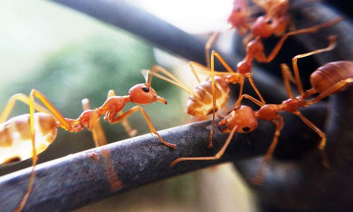 النمل الماليزي